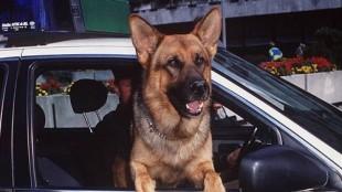 kommissar-rex-im-polizeiauto