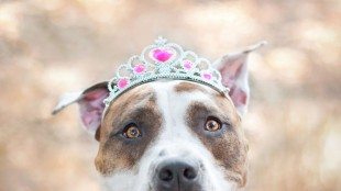 pit-bull-dog-breed-picture-10